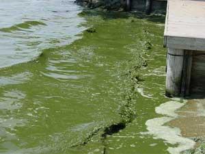 Blue Green Algae - Image Source: http://dnr.wi.gov/wnrmag/2009/08/images/creature.jpg