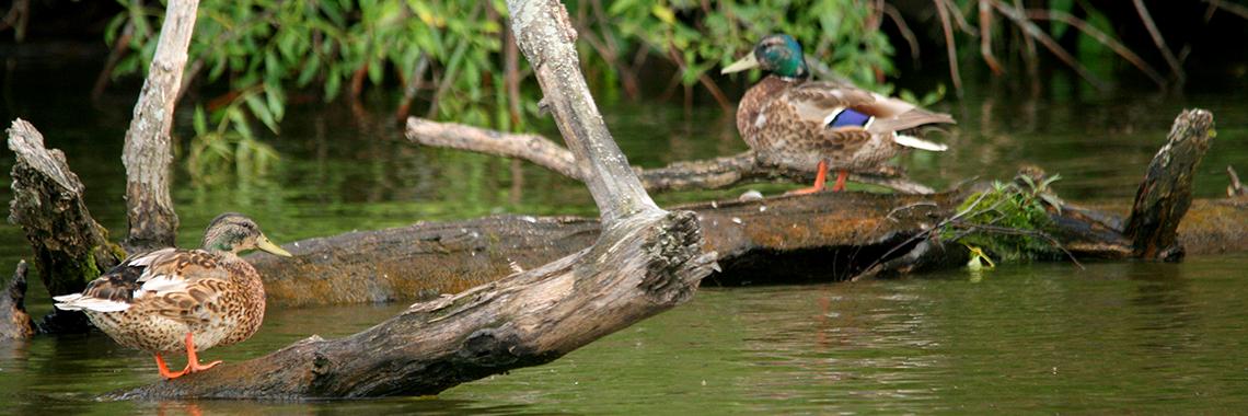 ducks full page width